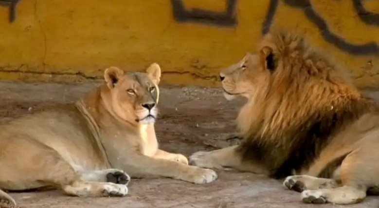 Gaziantep Hayvanat Bahçesi'nde aslan dehşeti